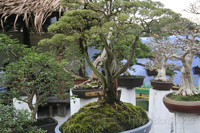 pokok bonsai pesta flora