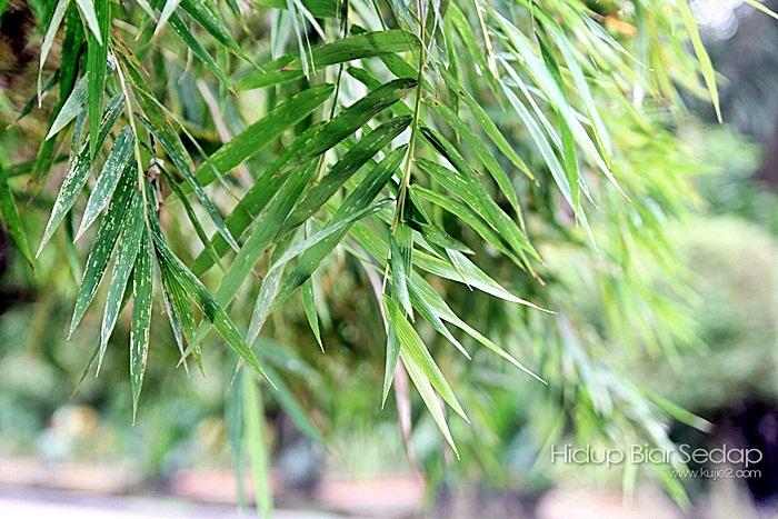 daun buluh