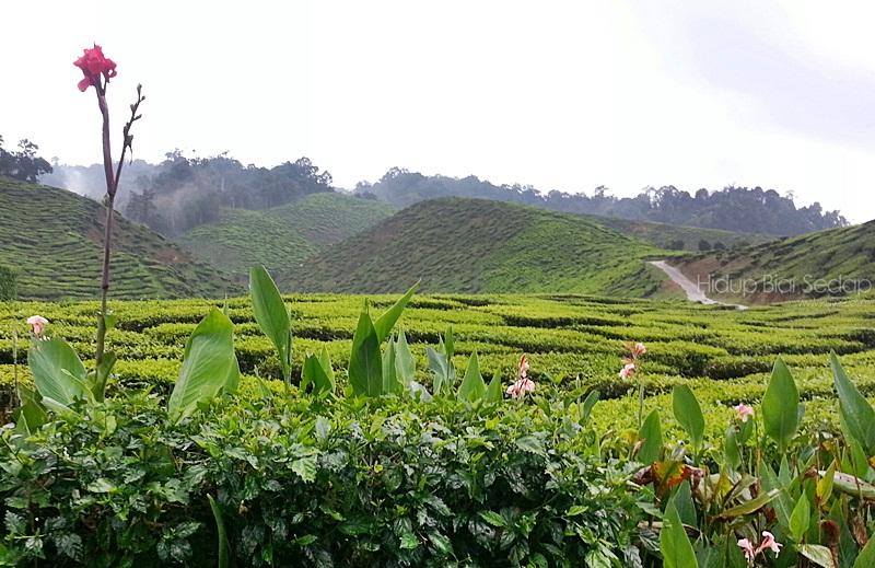 ladang teh di cameron highlands