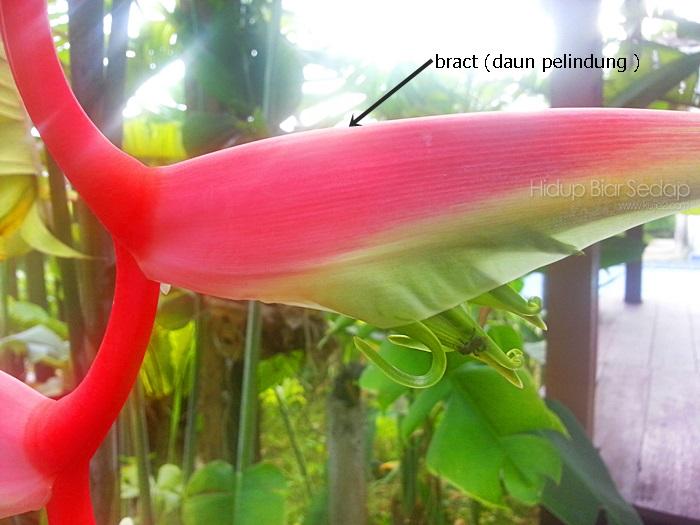 bract helicornia daun pelindung