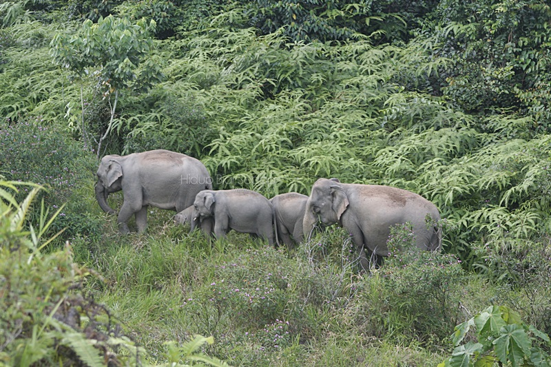 gajah liar malaysia
