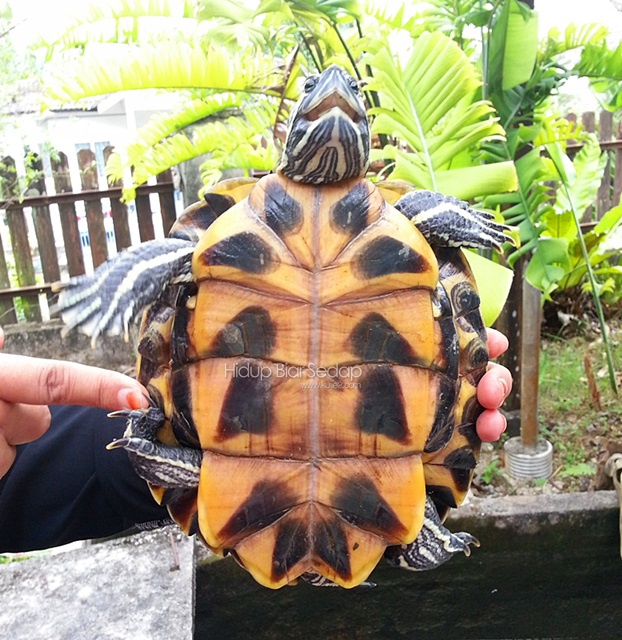 Nemo Si Red-Eared Slider Turtle