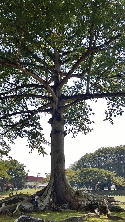 pokok kekabu di padang merdeka kuching