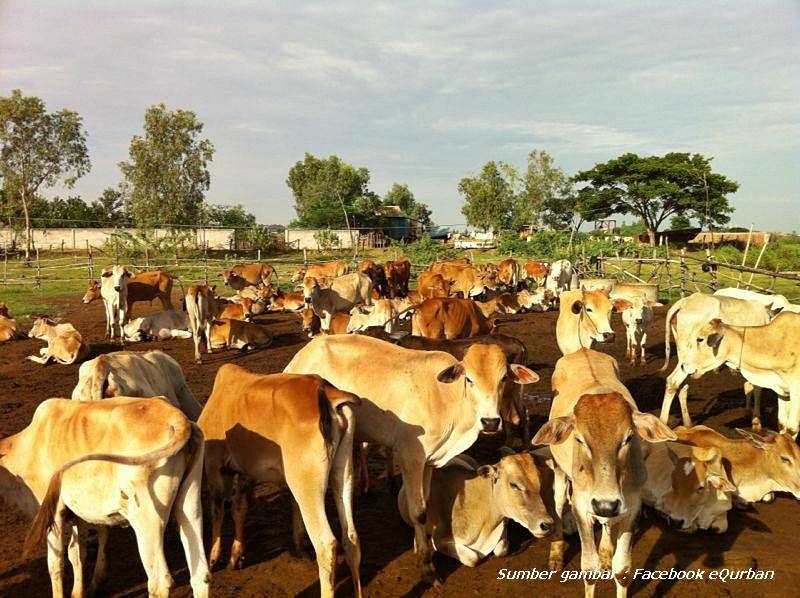 lembu yang diternak sendiri ini bukan saja dapat menyediakan lembu
