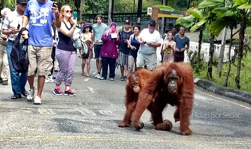 Kenangan Mesra Orang Utan Di Semenggoh Wildlife Centre