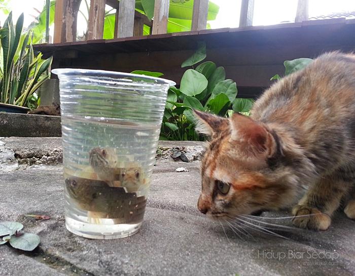 kucing dan ikan puyu
