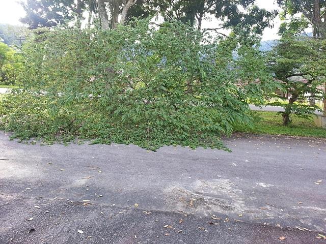 pokok ceri tumbang