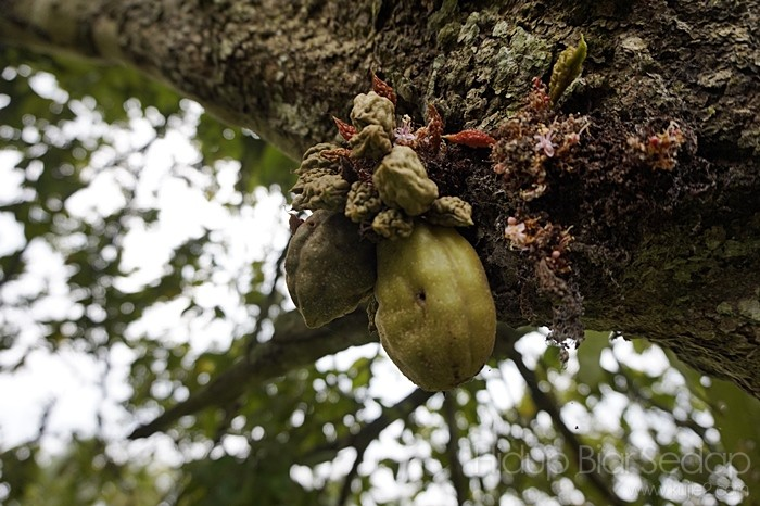 buah namnam