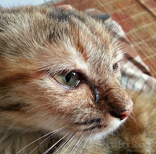 kucing sakit mata