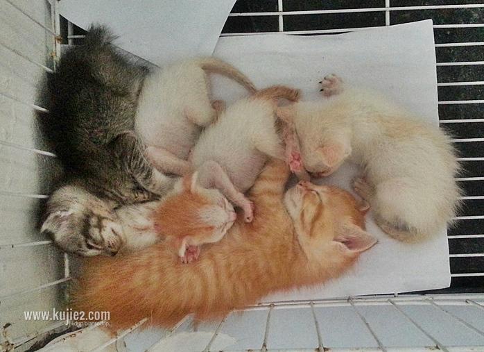 anak kucing tumpang susu