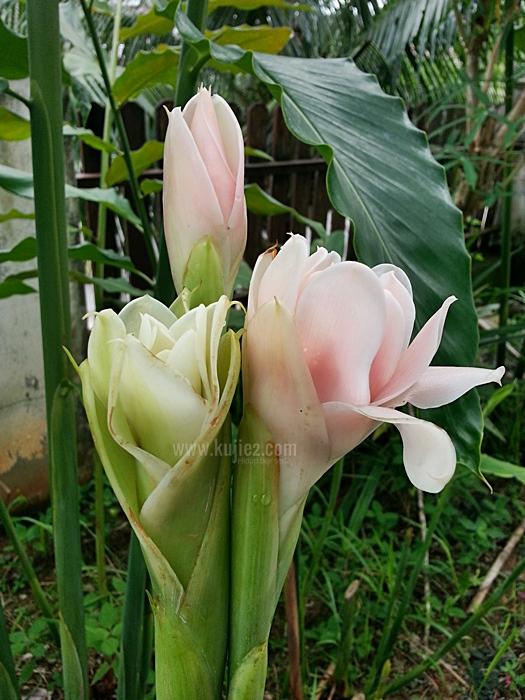 Bunga Kantan Putih