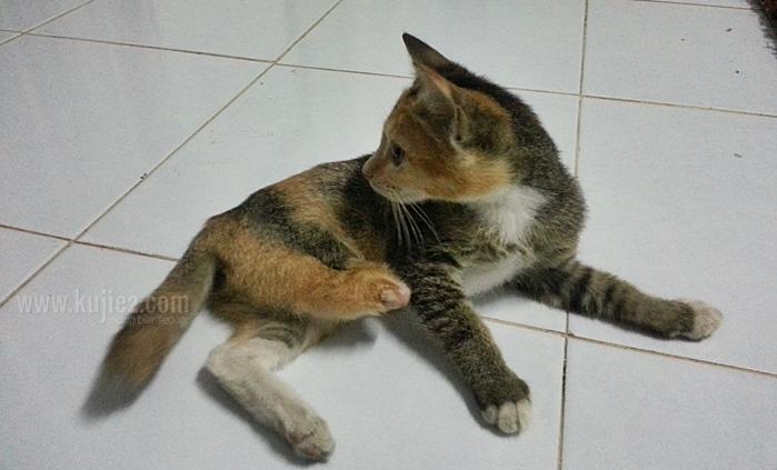 Kucing Kujie Kaki Kudung