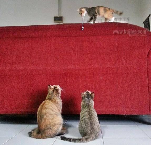 kucing main