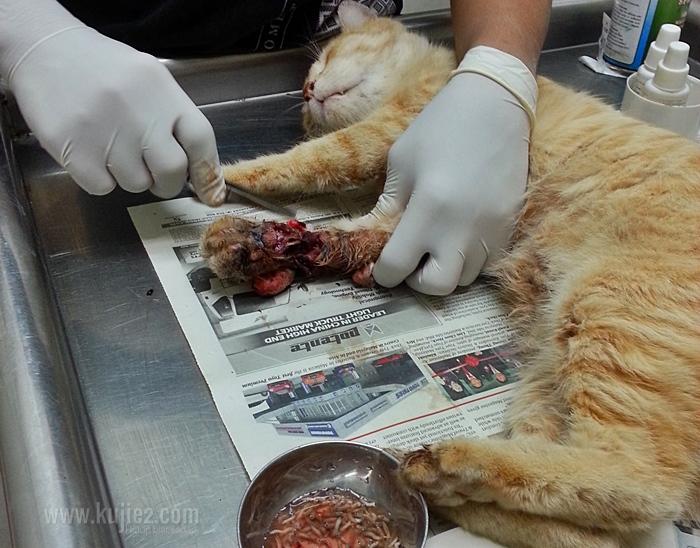 kucing luka berulat