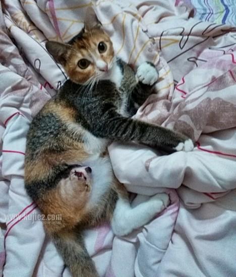 kucing kudung