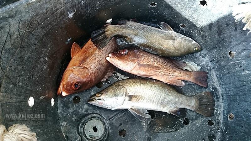 ikan sangkar teluk bayu sungai petani