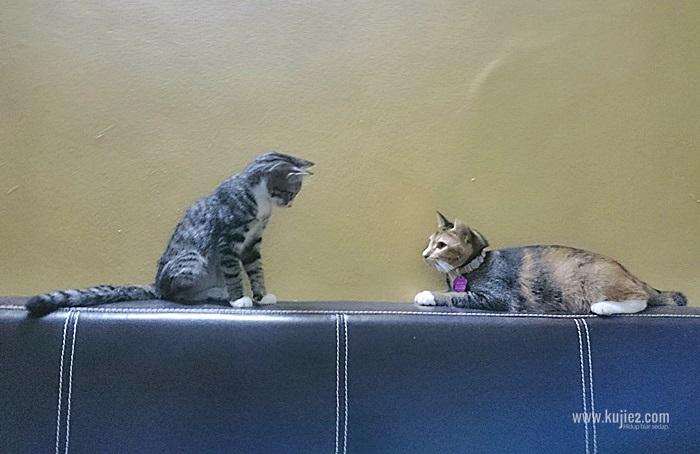 Beemo Kucing Kudung