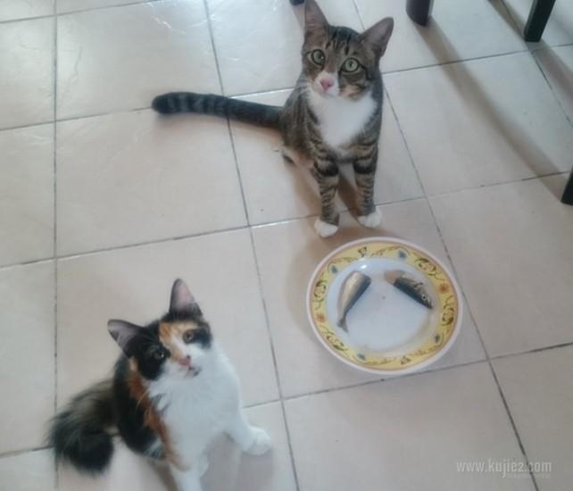 kucing tak makan ikan